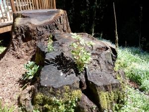 Garden in a stump
